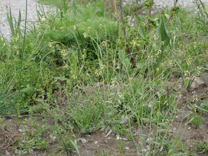 Arabette de thalius - Arabidopsis thaliana © Marie-Geneviève Nicolas - Parc national des Ecrins