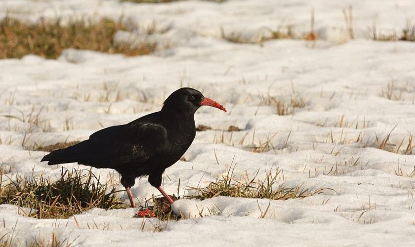 Crave à bec rouge © Mireille Coulon - Parc national des Ecrins