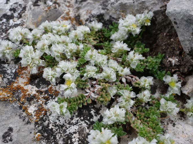 Paronyque à feuilles de Serpolet-  Paronychia kapela subsp. serpyllifolia © Marie-Geneviève Nicolas - Parc national des Ecrins