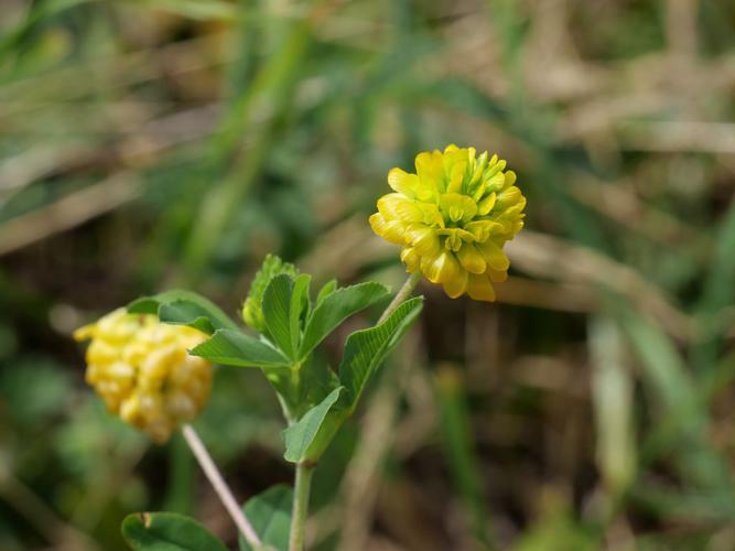 Trèfle doré - Trifolium aureum © Marie-Geneviève Nicolas - Parc national des Ecrins