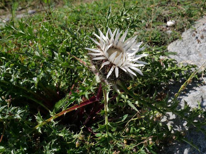 Carline caulescente - Carlina acaulis subsp. caulescens © Marie-Geneviève Nicolas - Parc national des Ecrins