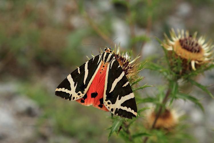Ecaille chinée © Christophe Albert - Parc national des Ecrins