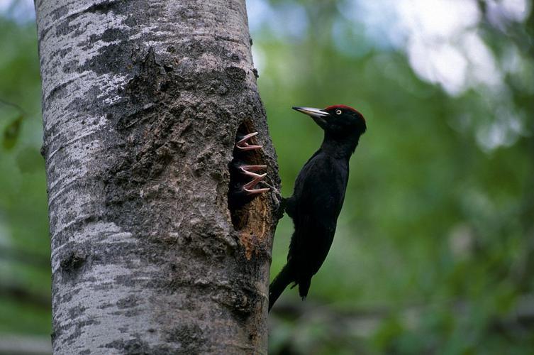 Pic noir et ses petits au nid © Robert Chevalier - Parc national des Ecrins