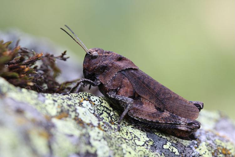 OEdipode stridulante © Marc Corail - Parc national des Ecrins