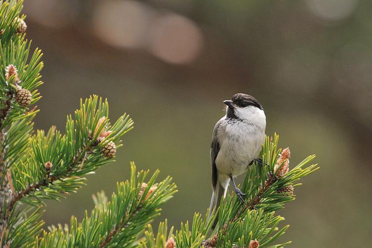 Mésange boréale © Mireille Coulon - Parc national des Ecrins