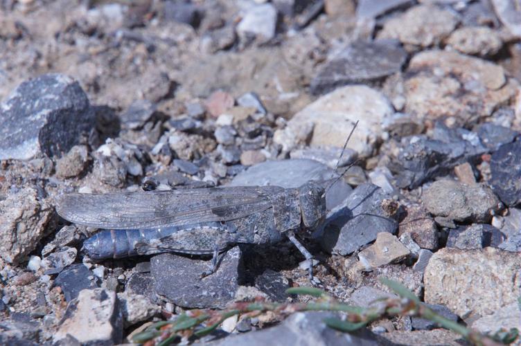 Oedipode aigue-marine, Criquet à ailes bleues, Oedipode Azurée © Ludovic Imberdis - Parc national des Ecrins
