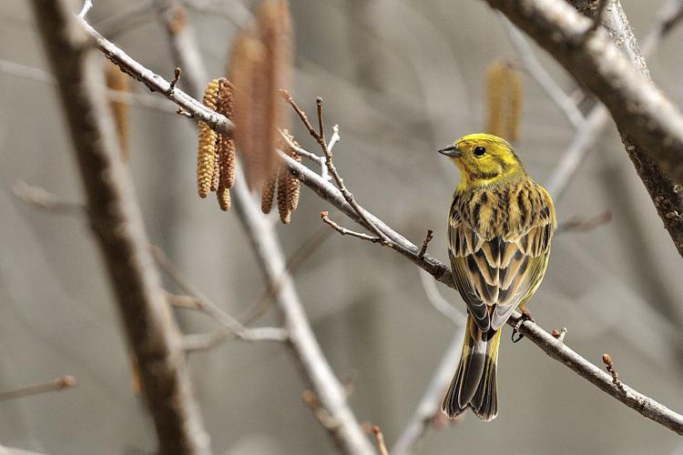 Bruant jaune © Mireille Coulon - Parc national des Ecrins