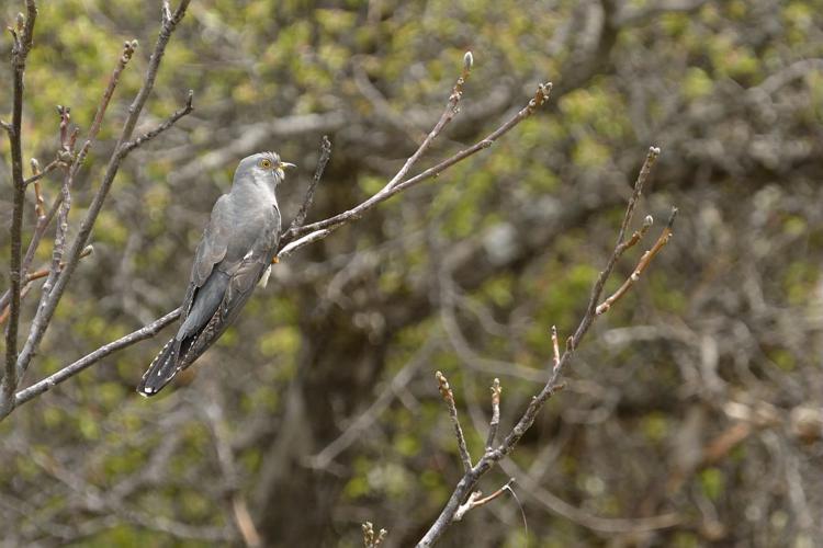 Coucou gris © Mireille Coulon - Parc national des Ecrins
