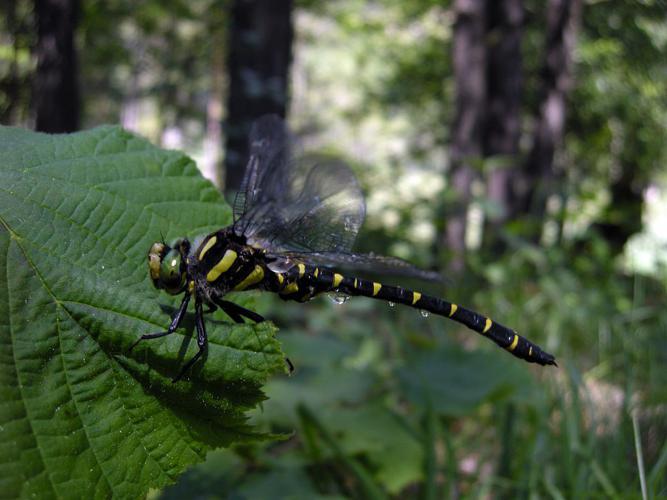 Cordulégastre bidenté © Damien Combrisson - Parc national des Ecrins