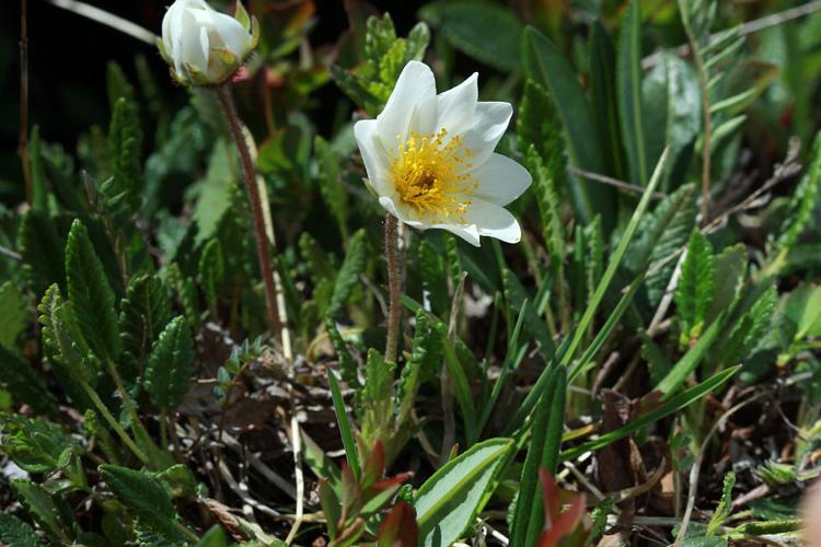 Dryade à huit pétales, Herbe à plumets © Cédric Dentant - Parc national des Ecrins