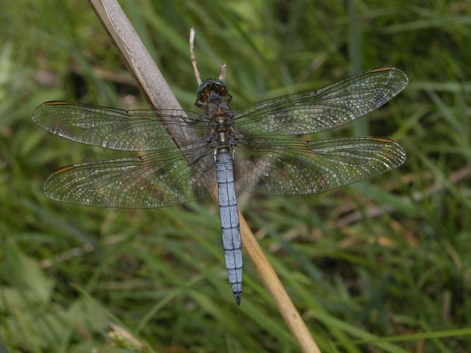 Orthétrum bleuissant - Mâle © Damien Combrisson - Parc national des Ecrins