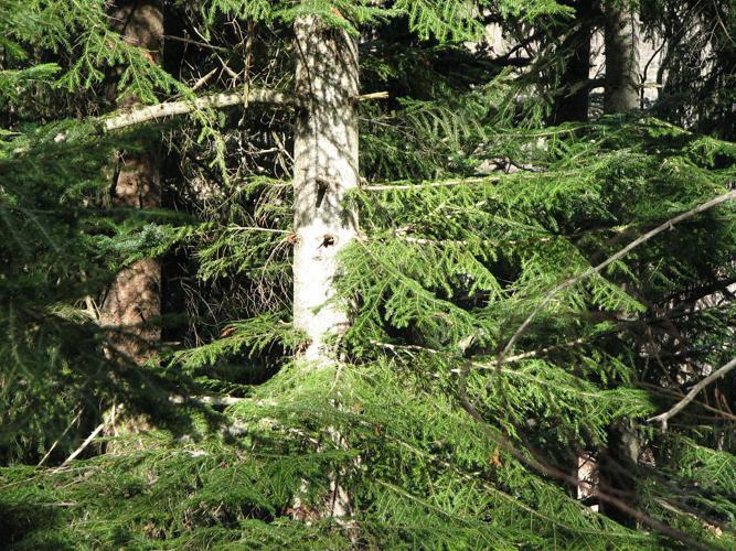 Sapin pectiné, Sapin à feuilles d'If © Christophe Albert - Parc national des Ecrins