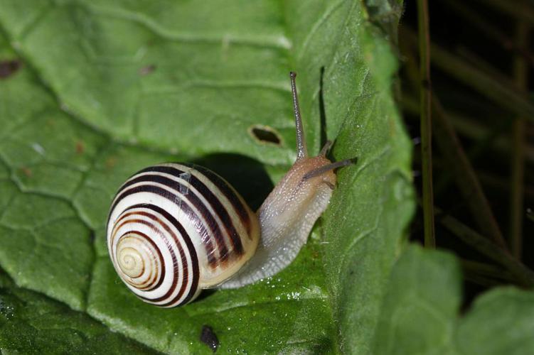 Escargot des jardins © Damien Combrisson - Parc national des Ecrins