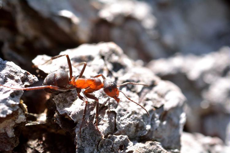 Fourmi rousse des bois © Mireille Coulon - Parc national des Ecrins