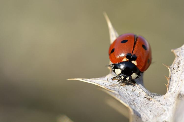 Coccinelle à 7 points © Mireille Coulon - Parc national des Ecrins