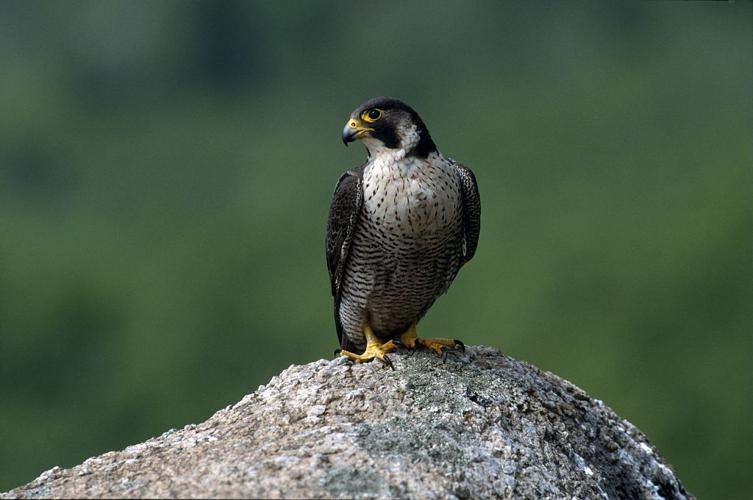 Faucon pèlerin © Robert Chevalier - Parc national des Ecrins