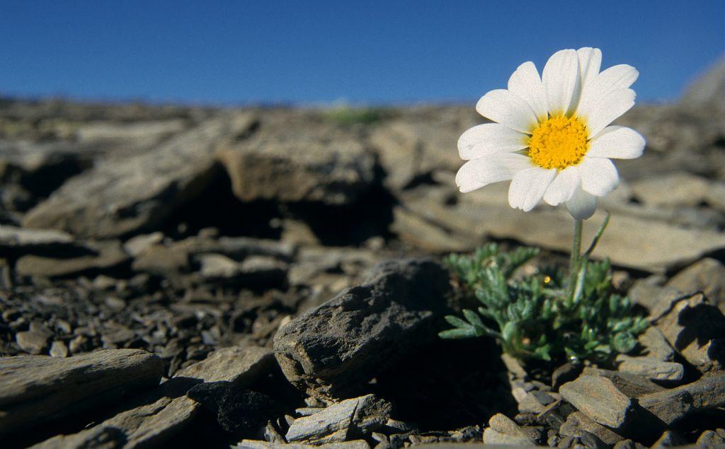 Marguerite des Alpes, Leucanthémopsis des Alpes © Marc Corail - PNE