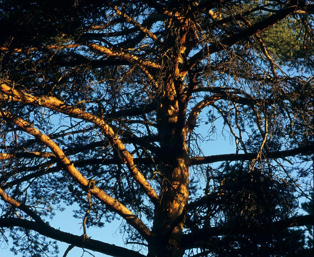Pin sylvestre © Bernard Nicollet - PNE
