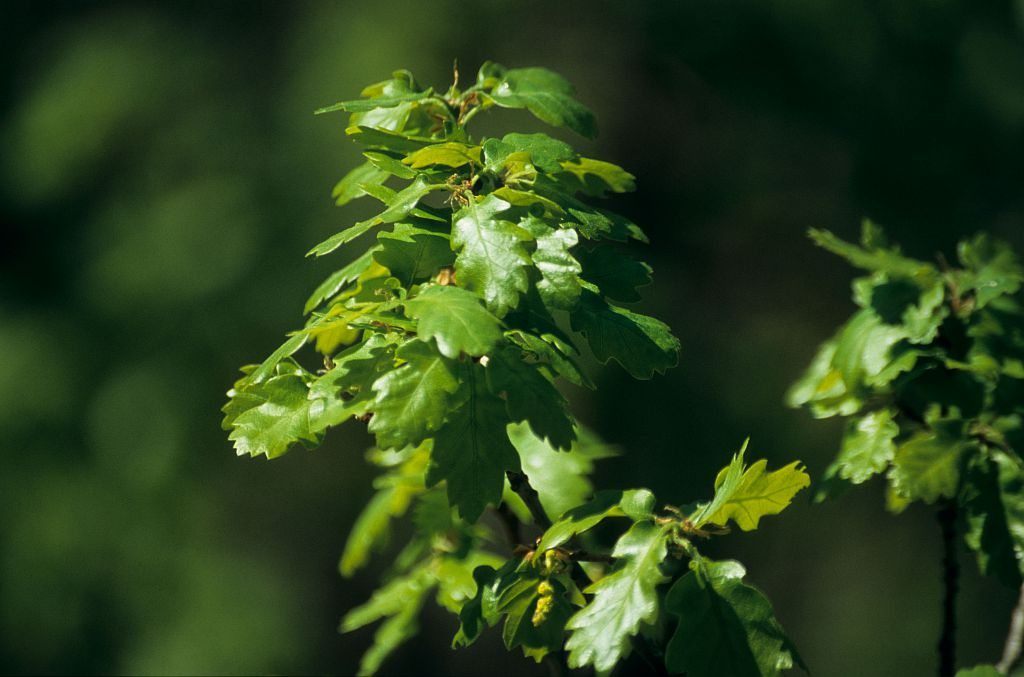 Chêne pubescent © Christian Baïsset - PNE