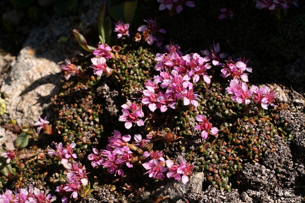 Saxifrage tronquée, Saxifrage à feuilles rétuses, Saxifrage valdôtaine © Marie-Geneviève Nicolas - PNE