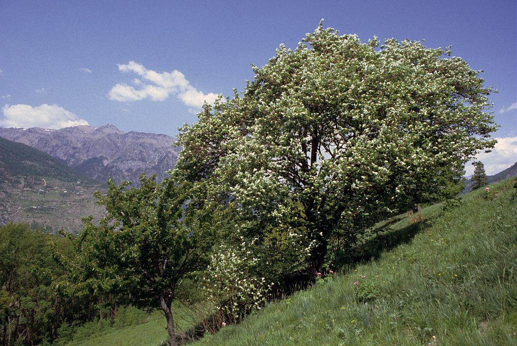 Alouchier, Alisier blanc © PNE