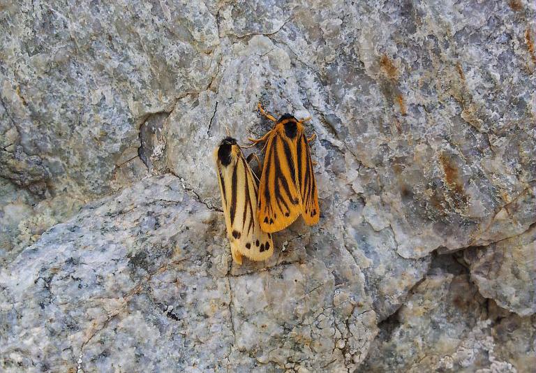 Ecaille alpine (L'), Endrosie crépitante (L') © Frédéric Goulet - PNE