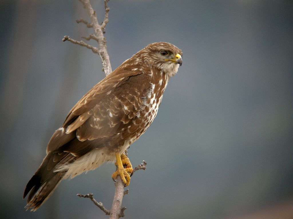 Buse variable © Damien Combrisson - Parc national des Ecrins