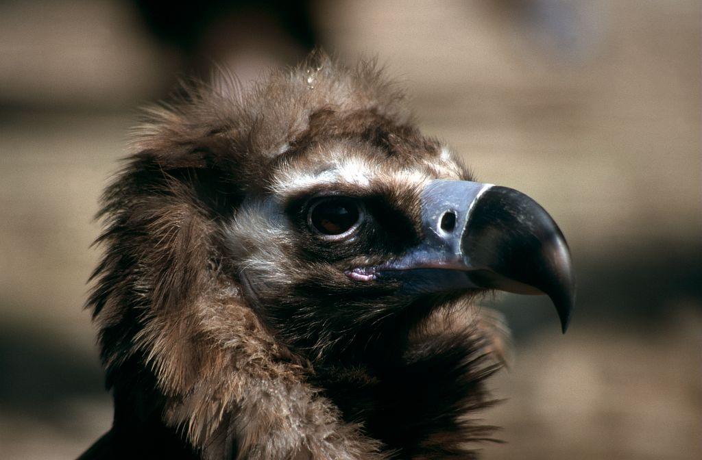 Tête de vautour moine © Cyril Coursier - PNE