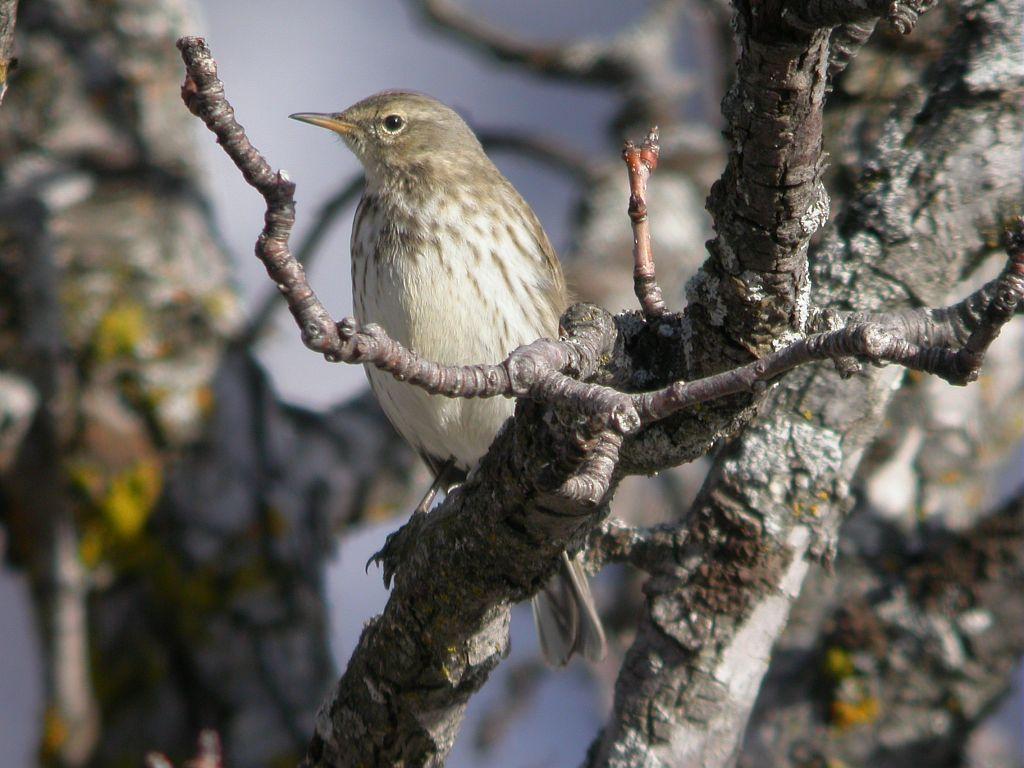 Pipit spioncelle en plumage d'hiver © Damien Combrisson - PNE