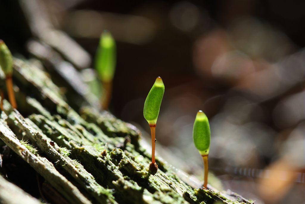 Buxbaumia viridis © Cédric Dentant - PNE