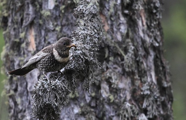 Merle à plastron © Marc Corail - Parc national des Ecrins
