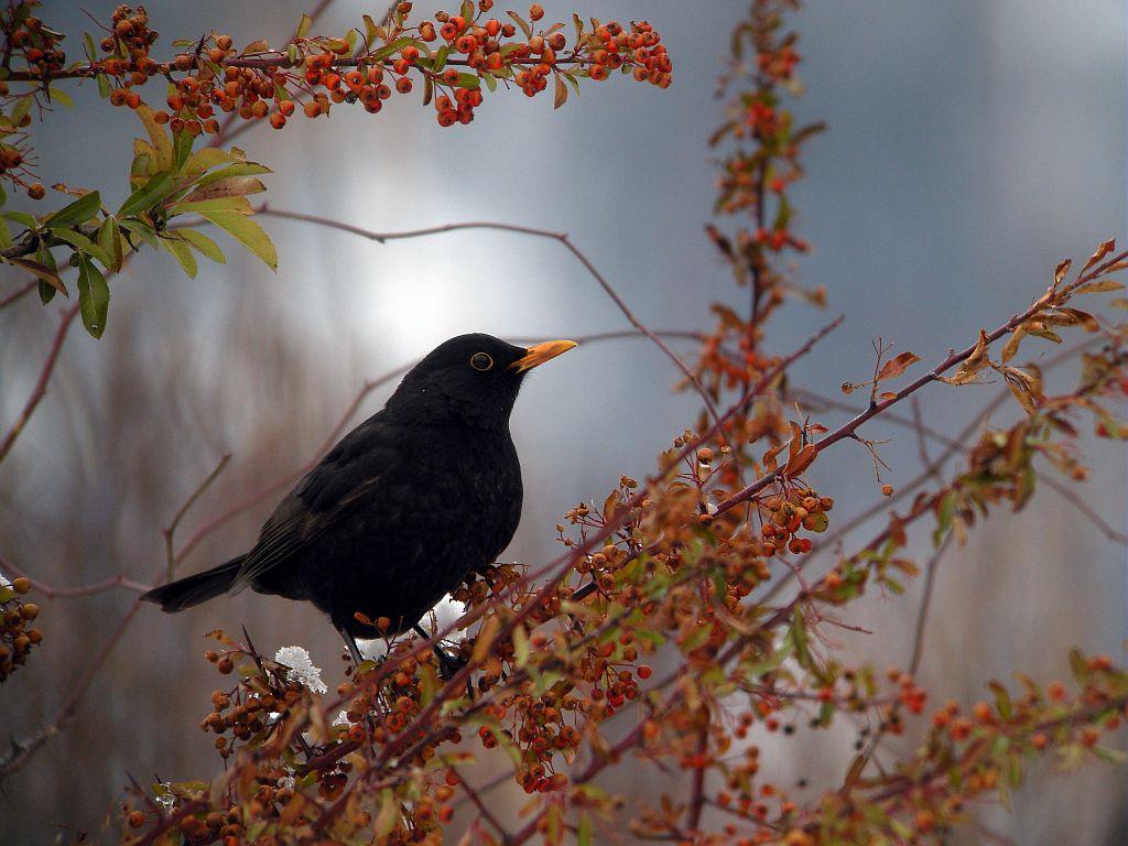 Merle noir, mâle adulte © Damien Combrisson - PNE