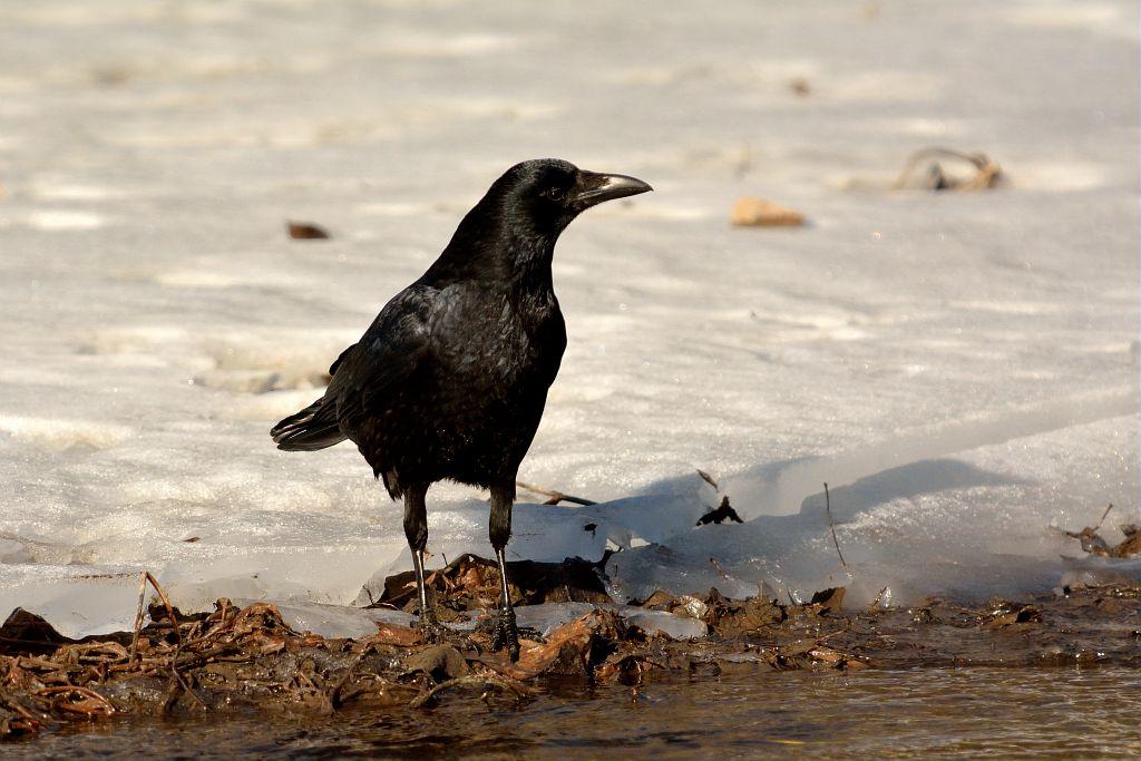 Corneille noire © Mireille Coulon - Parc national des Ecrins