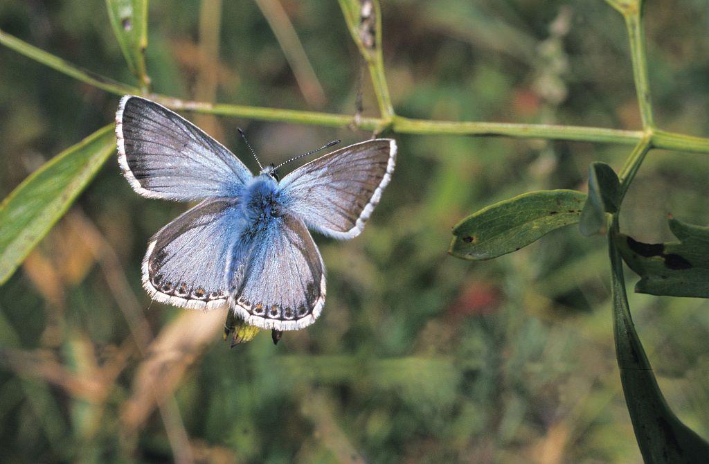 Argus bleu-nacré © Marie-Geneviève Nicolas - PNE