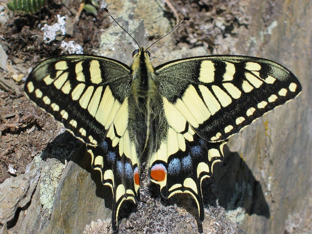 Machaon © Christophe Albert - PNE