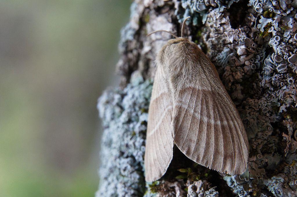 Bombyx de la ronce © Ludovic Imberdis - PNE