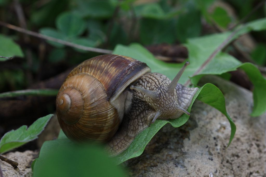 Escargot de Bourgogne © Damien Combrisson - Parc national des Ecrins