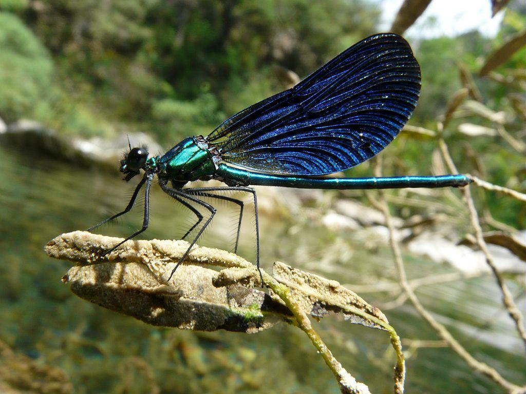 Caloptéryx vierge - Mâle © Marion Digier - PNE