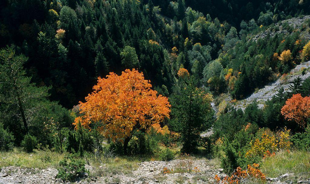 Érable à feuilles d'obier, Érable opale, Érable d'Italie © Jean-Pierre Nicollet - PNE