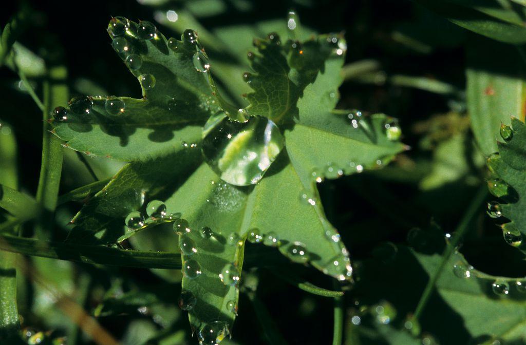 Alchémille vert jaune, Alchémille commune, Alchémille jaunâtre © Mireille Coulon - PNE