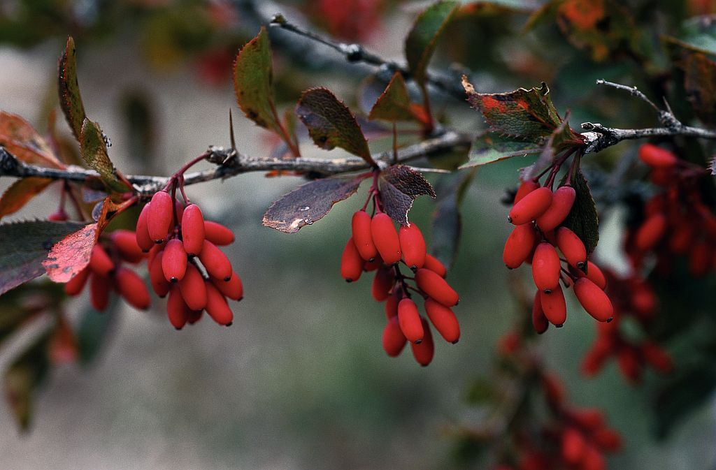 Epine vinette - fruits mûrs © Bernard Nicollet - Parc national des Ecrins