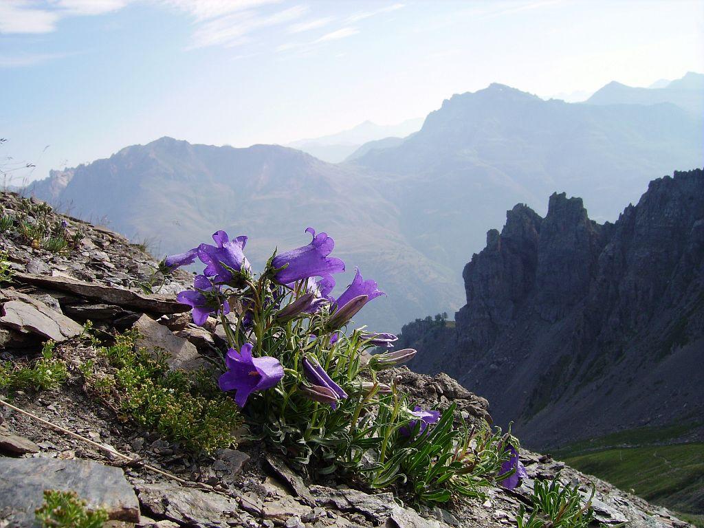 Campanule des Alpes © Bernard Nicollet - Parc national des Ecrins