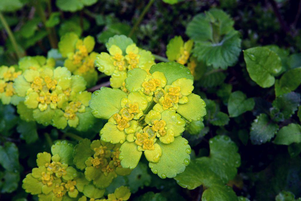 Dorine à feuilles alternes, Cresson de rocher, Cresson doré, Hépatique dorée © Bernard Nicollet - PNE