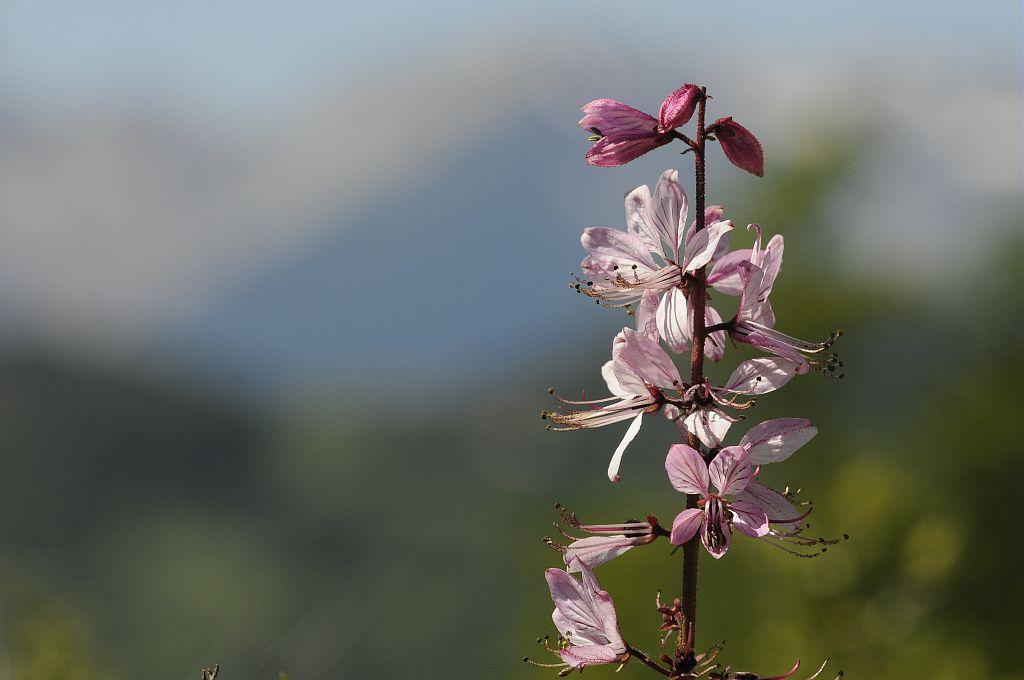 Fraxinelle blanche, Dictame blanc © Mireille Coulon - PNE