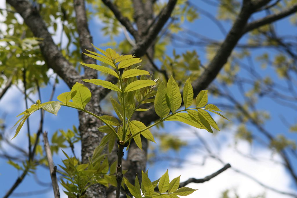 Frêne élevé, Frêne commun © Marie-Geneviève Nicolas - Parc national des Ecrins