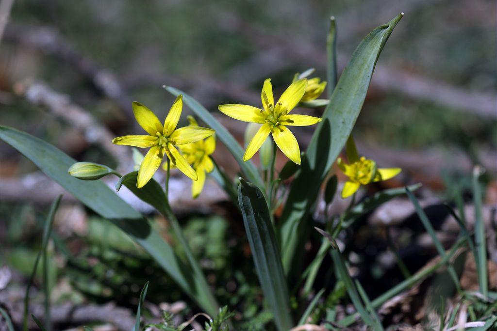Gagée jaune, Gagée des bois, Étoile jaune, Ornithogale jaune © Cédric Dentant - PNE